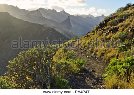 Zerklüftete Vulkanlandschaft mit sukkulenten Pflanzen, Wanderweg durch Anagagebirge in der Nähe von Almaciga, im Nordosten von Teneriffa Kanarische Inseln Spanien. Stockbild