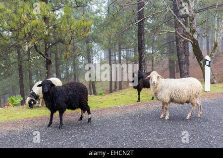 Schafe am Straßenrand, Gran Canaria, Kanarische Inseln, Spanien Stockbild