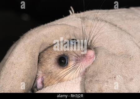 Genießbare/Fat Siebenschläfer (Glis Glis) statt bei einer Untersuchung in Wäldern, in denen dieses Europäische Arten, Buckinghamshire, Großbritannien etabliert hat. Stockbild