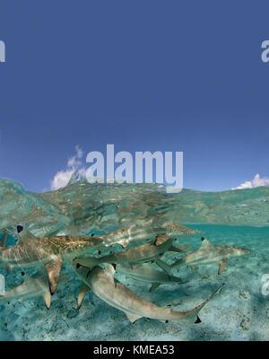 Über/Unter der Schwarzspitzen Riffhaie in einer Lagune, Französisch Polynesien. Stockbild