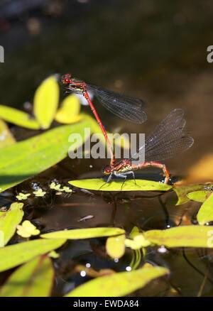 Große rote Libellen, Pyrrhosoma Nymphula, Coenagrionidae, Zygoptera, Odonata. Männliche und weibliche Stockbild