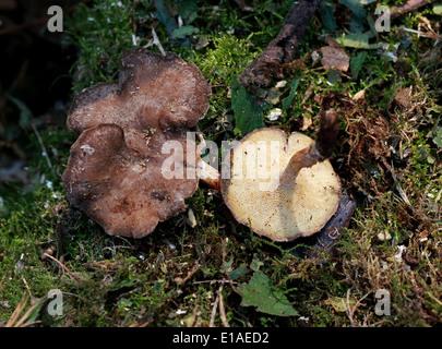 Winter Polypore, Polyporus Brumalis, Polyporaceae. März. Stockbild
