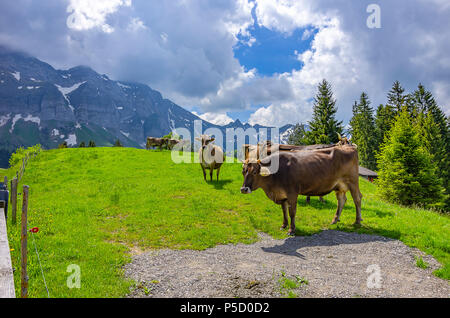 Kühe auf der Weide auf einer Bergwiese in den Schweizer Alpen in der Nähe von Urnäsch und Schwägalp, Kanton Appenzell Ausserrhoden, Schweiz. Stockbild