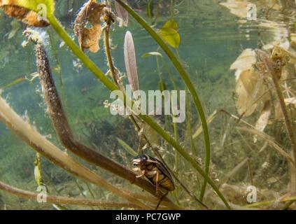 Tolles Tauchen Käfer, DYTISCUS MARGINALIS, Erwachsener, Frau, Doncaster, Yorkshire, März Stockbild