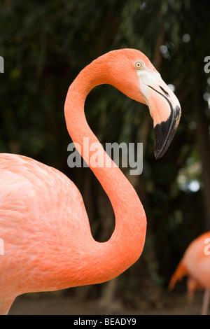 Amerikanische Flamingo, Nassau, Bahamas, Caribbean Stockbild