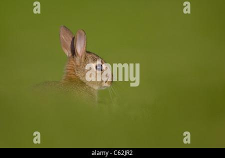 Kaninchen Oryctolagus Cuniculus Profil eines jungen Hasen in einem Feld Norfolk, Großbritannien Stockbild