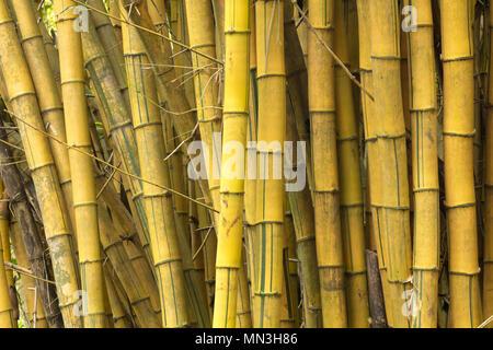Bambus im Dschungel, Quebrada Valencia, Magdalena, Kolumbien Stockbild