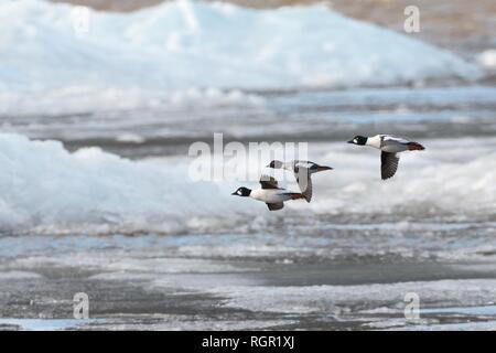 Drei Schellente (Bucephala clangula) Migration über Wind See Eis in der Nähe der Küste im Frühjahr angehäuft, Peipsi, Estland, April. Stockbild