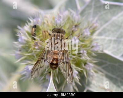 Eine streng Nektar stillen Pferdebremse (Pangonius striatus), endemisch auf Sardinien, Fütterung auf Sea Holly Blumen (Eryngium maritimum) auf einem Strand, Sardinien, Stockbild