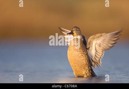 Petrol / Anas Vogelarten einer Erwachsenfrau trocknet ihre Flügel nach dem Baden. Norfolk, Großbritannien. Stockbild