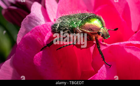 Eine goldfarbene rose Käfer sitzt auf einer roten Blume einer Blume in der Sonne Stockbild