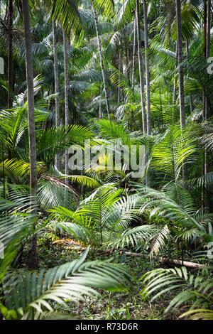 Euterpe oleracea (Açai), Ilha do Combu, Amazon, Belem do Pará, Para, Brasilien Stockbild