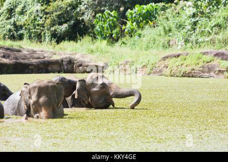 Elefanten baden - Sri Lanka, Asien Stockbild