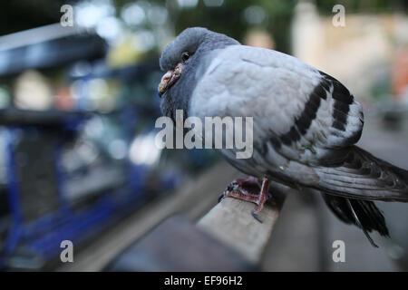 Taube mit unscharfen Hintergrund zu sitzen Stockbild
