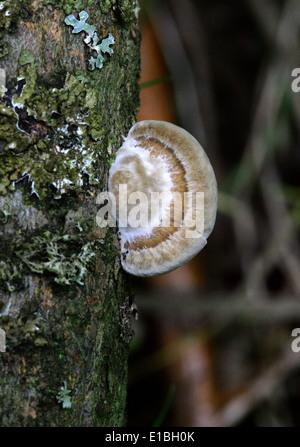 Young Brownflesh Halterung Pilz, Coriolopsis Gallica, Polyporaceae auf Willow Tree. Stockbild