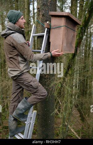 David Bavin eine Leiter hinauf, die Positionierung einer Höhle auf einen Baum für die Verwendung durch Baummarder (Martes martes) nach Wales aus Schottland, Februar 2016 wieder eingeführt. Stockbild