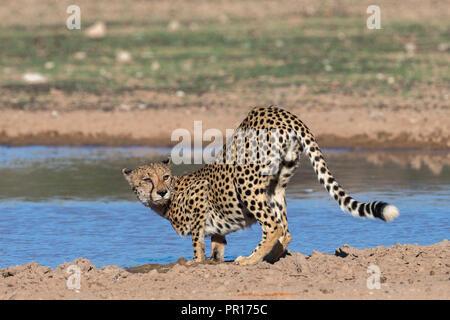 Gepard (Acinonyx jubatus) im Wasser, Kgalagadi Transfrontier Park, Südafrika, Afrika Stockbild
