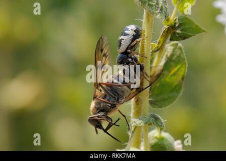Crab spider (Synema globosum) mit einem Nektar - Fütterung Pferd fliegen (Pangonius pyritosus) als Beute, Lesbos (Lesvos), Griechenland, Juni. Stockbild