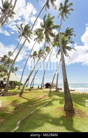 Koggala Beach, Sri Lanka, Asien - riesige Palmen auf einer Wiese im Koggala Beach Stockbild