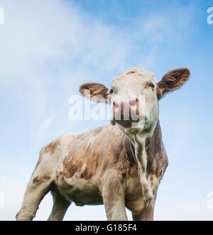 Organisch angehoben, Grass gefüttert Kuh Stockbild