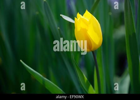 Gelbe Tulpen im Garten Stockbild