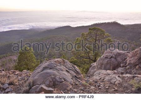Vulkanische Gesteine und Kiefern (Pinus canariensis) der Naturpark Corona Forestal Teneriffa Kanarische Inseln Spanien. Hohe Vorderansicht in der Abenddämmerung. Stockbild