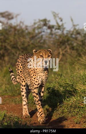 Gepard (Acinonyx jubatus) Weiblich, Zimanga Private Game Reserve, KwaZulu-Natal, Südafrika, Afrika Stockbild