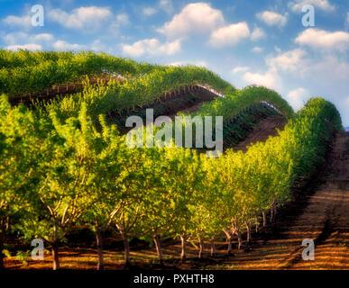 Obstbäume, (Mandel) in den Zeilen über Hügel. In der Nähe von Williams, Kalifornien Stockbild