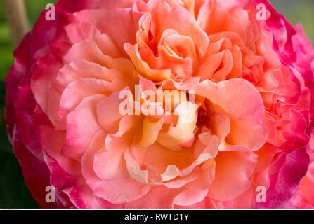 Botanik, Blüten von Rosen, Vorsicht! Für Greetingcard-Use/Postcard-Use in deutschsprachigen Ländern gibt es einige Einschränkungen Stockbild