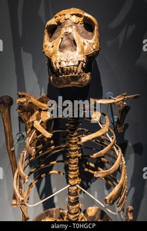 England, London, South Kensington, das Natural History Museum, die Ausstellung von 1,5 Millionen Jahre alten Turkana Boy Skelett Stockbild