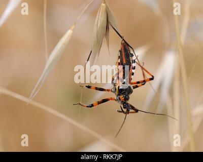 Assassin bug (Rhynocoris punctiventris) hängen von einem Gras Blume, Küsten Buschland, Lesbos (Lesvos), Griechenland, Juni. Stockbild