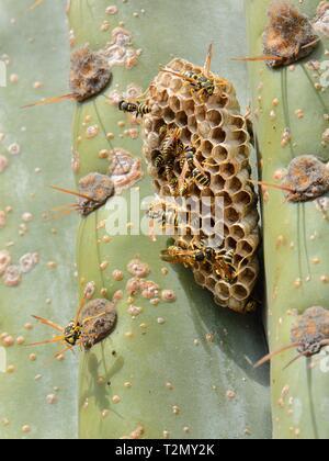 European paper Wasp (feldwespe dominula) Kolonie an ihr Nest auf einem großen Kakteen, Mallorca, Spanien, August. Stockbild