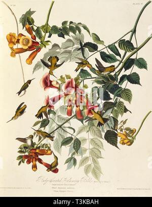 "Das Ruby-throated hummingbird. Von ""Die Vögel Amerikas"", 1827-1838. Private Sammlung. Stockbild"