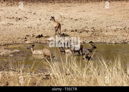 Sambar Hirsche, andhari tadoba Tiger Reserve, chandrapur, Maharashtra, Indien, Asien Stockbild