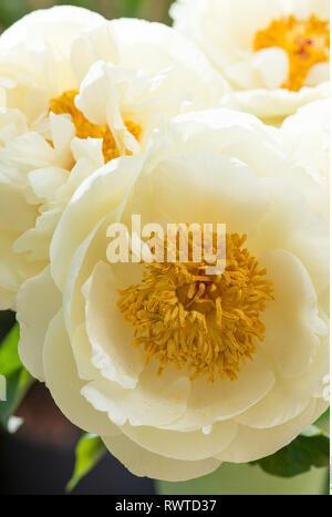 Botanik, gelbe Päonien Blüten, Vorsicht! Für Greetingcard-Use/Postcard-Use in deutschsprachigen Ländern gibt es einige Einschränkungen Stockbild