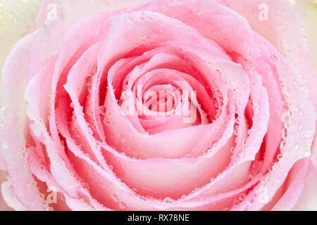 Botanik, Rose, rose bloom, Additional-Rights - Clearance-Info - Not-Available Stockbild