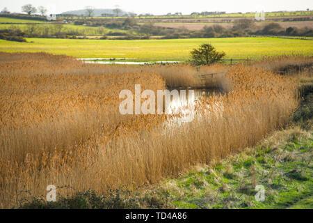 Golden Schilf auf Feuchtgebiete aus Norfolk Coast Path National Trail in der Nähe von Burnham Overy Staithe, Norfolk, East Anglia, England, Vereinigtes Königreich, Europa Stockbild