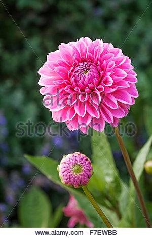 Dahlia Blumen 'Berlin' - Feder - Chenies Manor Gardens Stockbild