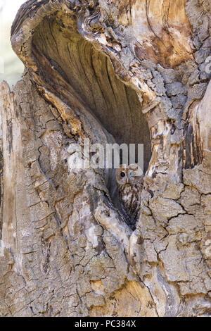Waldkauz (Strix aluco) Erwachsenen, die aus einem hohlen Baum, Suffolk, England, UK, Mai, kontrollierte Thema Stockbild