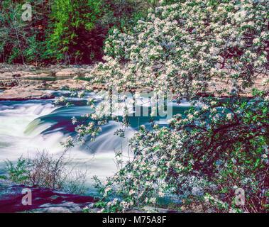 Frühlingsblumen und Kaskade, Youghiogheny River, Ohiophyle State Park, Pennsylvania, Appalachian Berge Stockbild