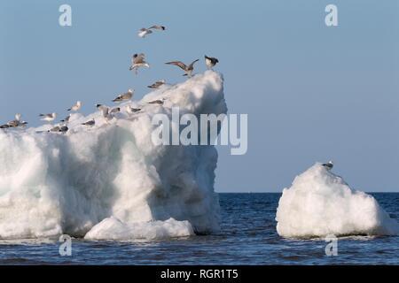 Migrant Möwen Landung auf andere ruht auf Wind See Eis aufgestaut, in der Nähe der Ufer von Lake Peipsi, Pärnu County, Estland, April. Stockbild