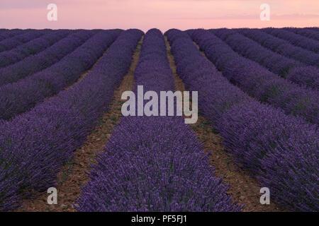 Einem Lavendelfeld in der Abendsonne in der Provence, Frankreich Stockbild