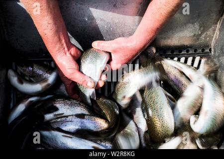 Hohen Winkel in der Nähe der Person, die fangfrische Forellen an eine Fischzucht Aufzucht von Schwarzwaldforellen. Stockbild