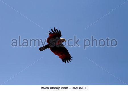 KITE FLYING OVER SEA, ANCHUTHENGHU KÜSTE, TRIVANDRUM, KERALA Stockbild