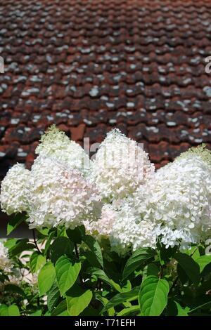 Hydrangea paniculata Stockbild