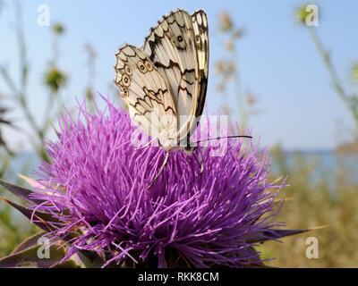 Lesbian marmoriert Weiß/Balkan marmoriert Weiß (Melanarge Larissa lesbina) Fütterung auf Mariendistel (Silybum marianum/Carduus marianum), Lesbos, Griechenland Stockbild