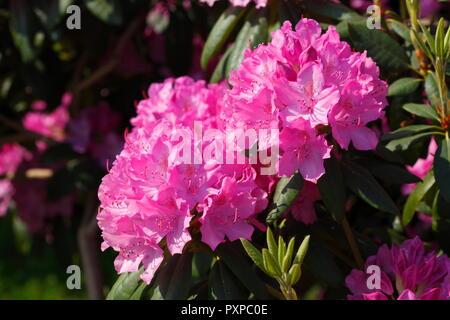 Purple Rhododendron Blüte, Bremen, Deutschland, Europa Stockbild