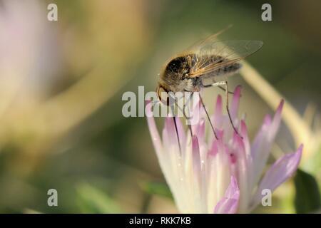 Bienen fliegen (Geron sp.) mit langen Rüssel Beschickung von schlanken Thistle/Italienisch Distel (Carduus pycnocephalus) Blüte, Zadar, Kroatien. Stockbild
