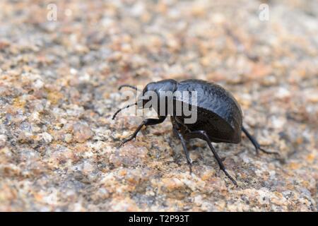 Darkling Käfer (Pimelia payraudi) laufen über eine Boulder hinter dem Strand, in der Nähe von Arbatax, Sardinien, Italien, Juni. Stockbild