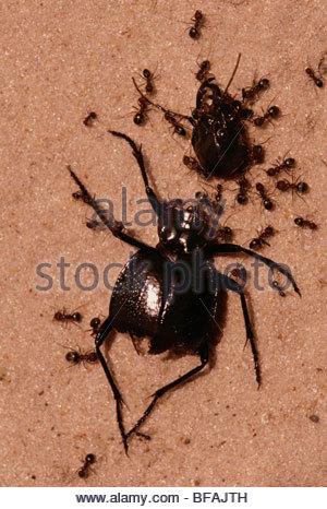 Ameisen sammeln sich um tote Käfer, Botswana Stockbild